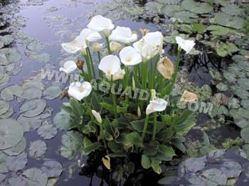 Calla zantedeschia aethiopica pianta da bordura per for Prodotti per laghetto da giardino