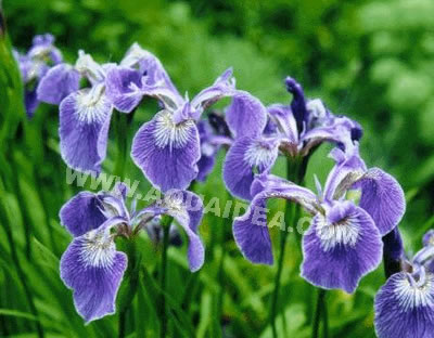 Iris setosa bordo laghetto for Laghetto tartarughe inverno