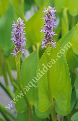 Pontederia cordata pianta palustre con spiga a fiori viola blu for Pianta fiori viola