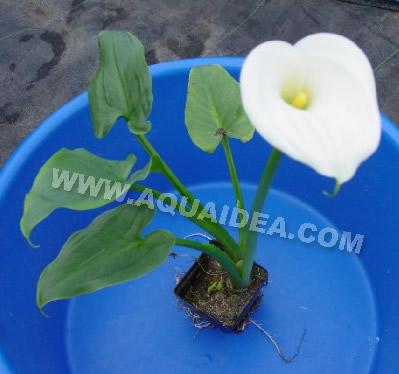 Calla zantedeschia aethiopica pianta da bordura per for Piante laghetto