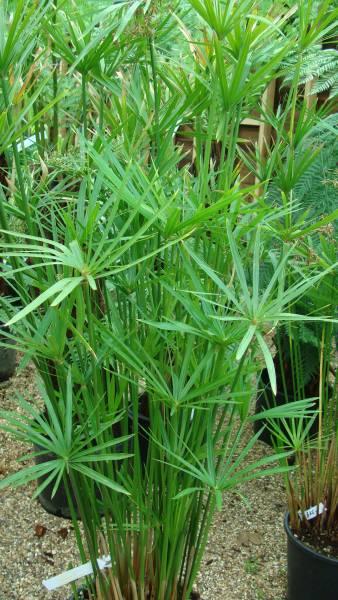 Cyperus alternifolius falso papiro pianta da bordura per for Piante per laghetto