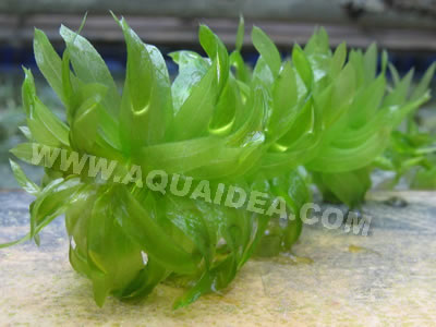 Egeria densa piante ossigenanti per laghetto e acquario for Piante ossigenanti per laghetto