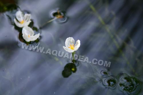 Egeria densa piante ossigenanti per laghetto e acquario for Vendita pesci da laghetto online