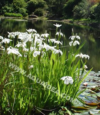 Iris kaempferi piante da bordura laghetto giardino for Piante da laghetto ossigenanti