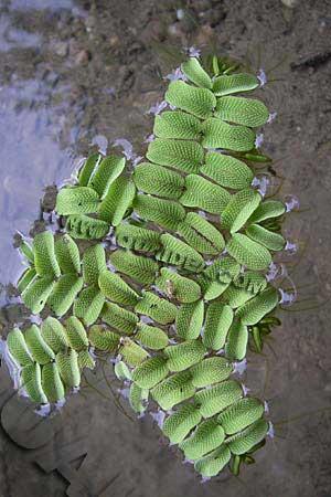 Salvinia natans pianta galleggiante da laghetto for Piante da laghetto