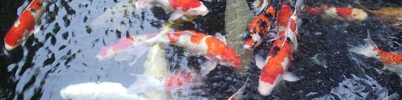 Aquaidea negozio per la vendita online di acquari d for Vendita koi online